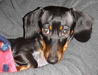 izzy-the-dachshund-accepts-valentine