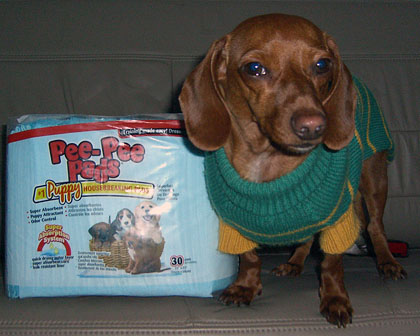 sampson-the-dachshund-pee-pee-pads-for-potty-training