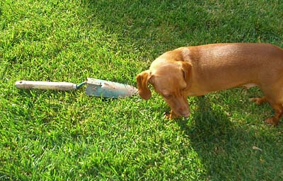 sampson-the-mini-dachshund-helping-with-the-weeding