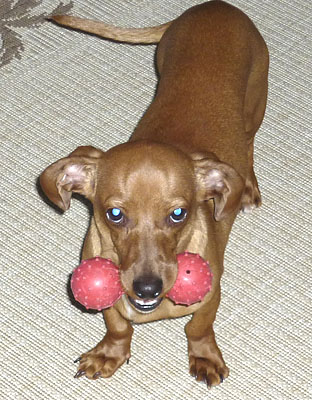 store-bought-toys-for-mini-dachshund