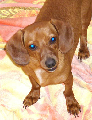 dachshund-traits-independent