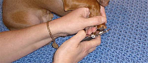 Trimming Dachshund Nails