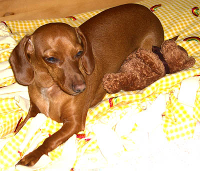 samspon-the-dachshund-and-night-night-bear