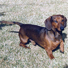 dachshund-pointing-lifting-paw
