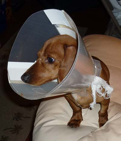 Sampson, the Dachshund, Cone Head