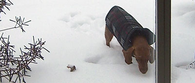 dachshund-potty-in-the-snow