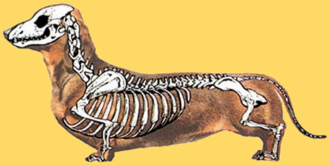 why-do-dachshunds-have-bad-backs