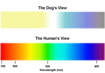 Can Your Dachshund See Color?