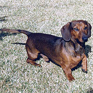 Dachshund Behaviors: What Do They Mean?