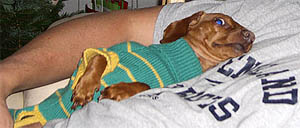 Does my Dachshund Need Clothes?
