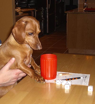 Mini Dachsund has Dinner with Friends