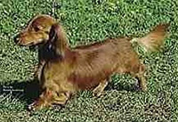 The Longhaired Dachshund