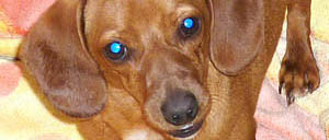 Dachshunds, A Breed With Specific Traits