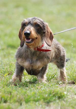 The Wirehaired Dachshund