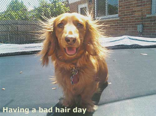 Dachshund Bad Hair Day, and more