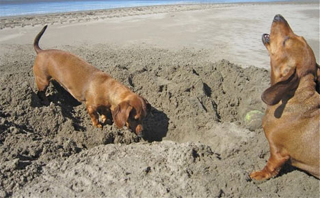 The Dachshund: Adventurous, Resourceful, and His Own Dog