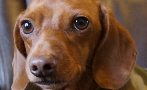 A Few Things To Know About Dachshunds